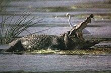 indus crocodile